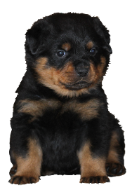 Rottweiler Puppies in Jacksonville, NC
