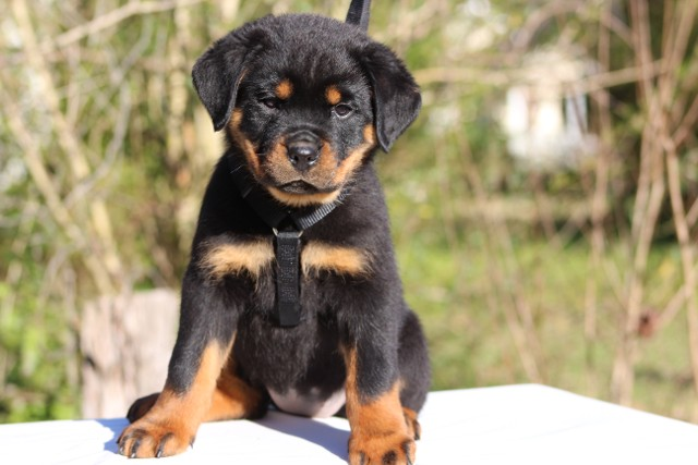 Akc registered rottweiler puppies for sale in nc