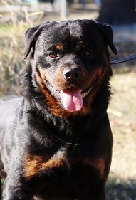 rottweiler stud service in nc